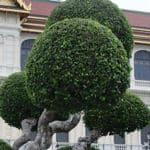 Buchsbaum (Buxus)