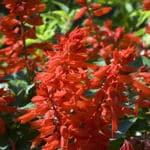 Feuersalbei (Salvia splendens)