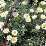 Margeriten (Leucanthemum)
