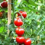 Tomaten (diverse Züchtungen)